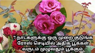 உங்க ரோஸ் செடியில் அதிக தளிர் மற்றும் பூக்கள் அதிகம் பூக்க இந்த மாதிரி உரம் 7days ஒன்ஸ் குடுங்க