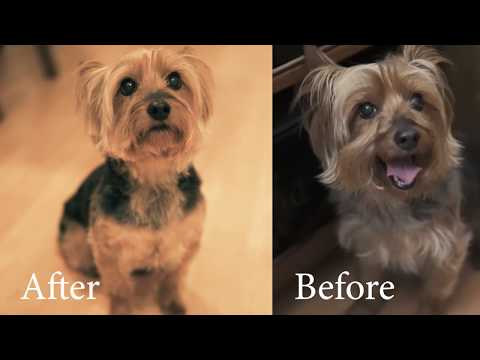 How to Groom Yoshi (Silky Terrier)