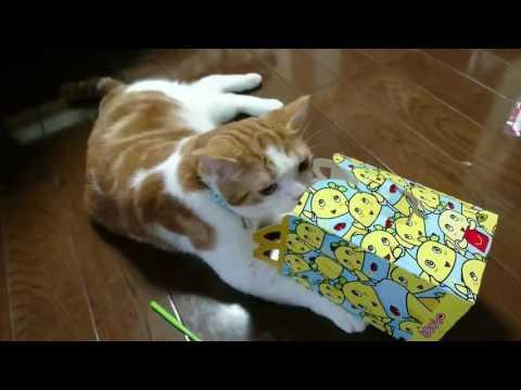 【猫のユヅニャン Scottish Straight Cat】2 years old!2歳になりました!スコティッシュストレート♂