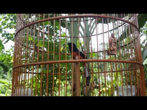 Burung murai batu bordan muda