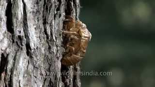 Empty Cicada shells in the Himalaya
