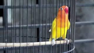Download lagu MEMANCING SUARA LOVEBIRD NGEKEK PANJANG