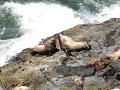 Bull Steller Sea Lions Fight Oregon Coast