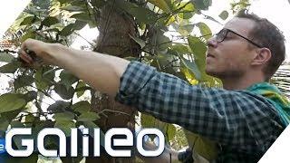 Pfeffer-Ernte: So hart ist der Job wirklich | Galileo | ProSieben