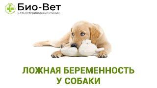 Ложная беременность у собаки  как помочь любимцу