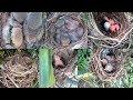 Momen Seru Mengintif  Sarang Burung Pentet Sekaligus  Mp3 - Mp4 Download