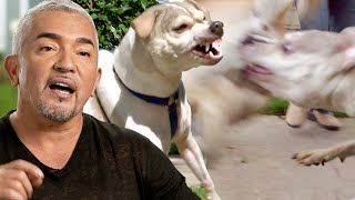 Vicious Dog Attacks Other Dogs And People   Cesar 911