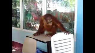 Un jeune orang outan filmé ici en Thaïlande...