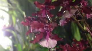 How to grow and rebloom Oncidium Sharry Baby