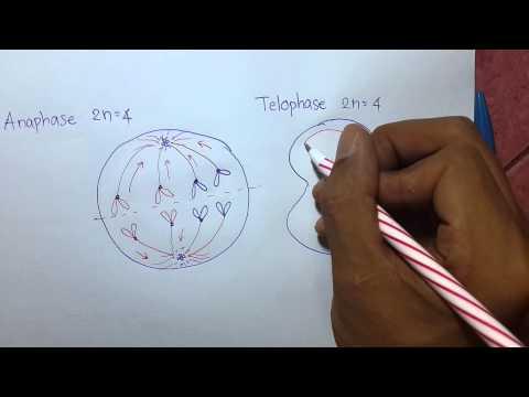 การแบ่งเซลล์แบบไมโทซิส (Anaphase & Telophase) End