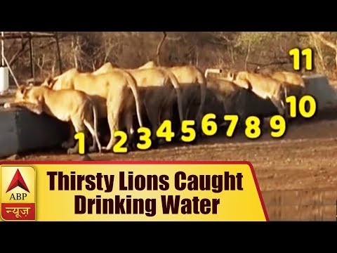 Amreli, Gujarat: 11 Thirsty Lions Caught Drinking Water in Scorching Heat | ABP News
