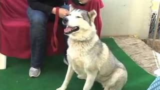 Kyla - Available For Adoption From Husky Haven Of La