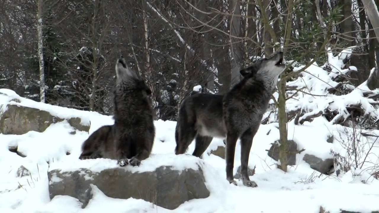 Lobo Aúllando: Lobos Negros Aullando
