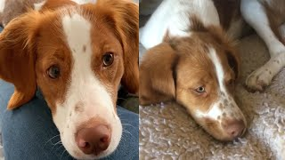 CHARMING BRITTANY DOGS CUTE MOMENTS