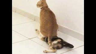 ちょ、おまえ、コラどけや!上からマウントされてジタバタ焦る猫