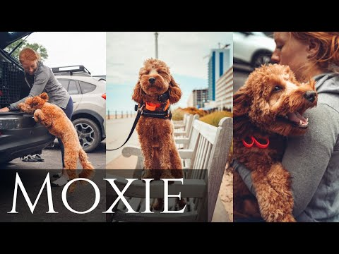 "gooldendoodle-""moxie""-