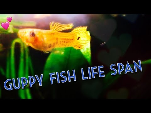 How Long Do Guppy Fish Live?