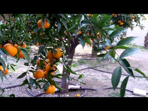 Mandarin orange and lemon trees in Cyprus