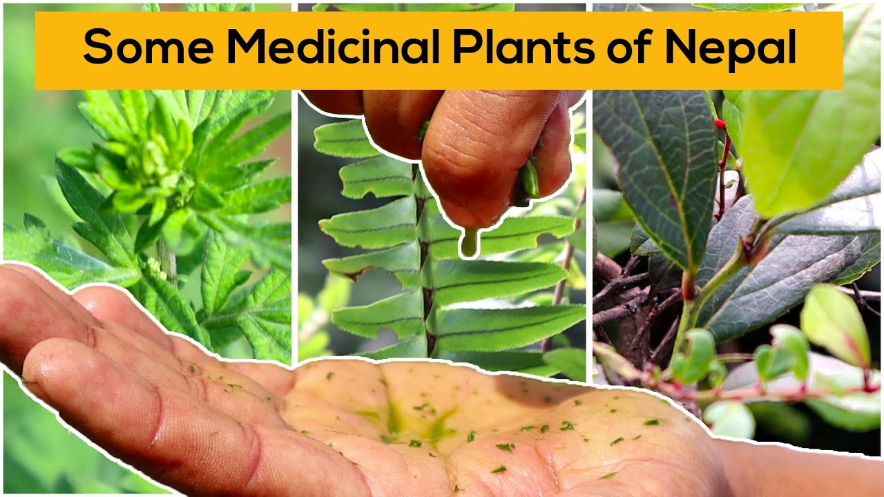 Some herbs and medicinal plants of Nepal