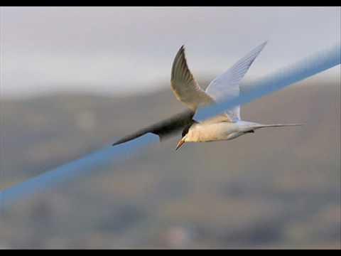 Mùa chim én bay - sáng tác: Hoàng Hiệp và Diệp Minh Tuyền - trình bày: Cẩm Loan