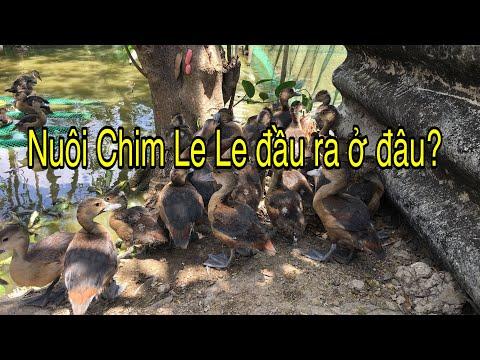 Nuôi Chim Le Le đầu Ra ở đâu?