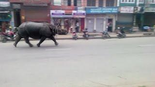 Wild Rhino Wreaks Havoc In A Town In Nepal