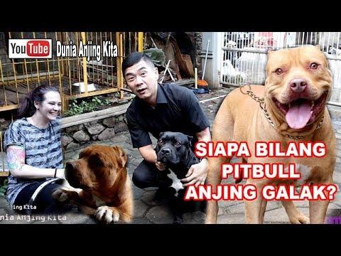 Anjing Pitbull Galak Feat Odie Juri Pitbull Youtube