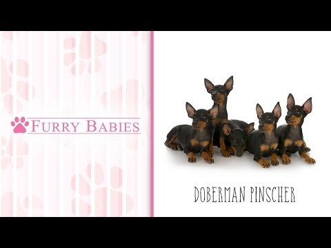 Is the Doberman Pinscher the right breed for you?