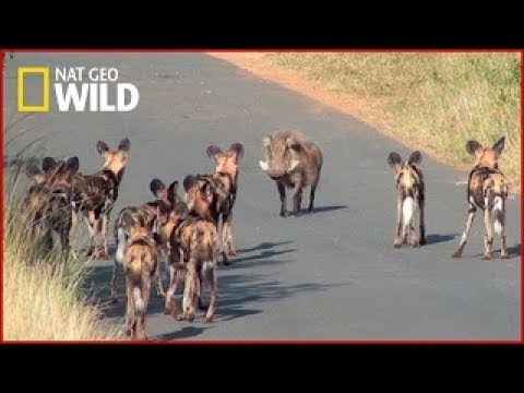 The Pack | African Wild Dogs | National Geographic Documentary | HD