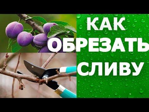Как правильно обрезать сливу для хорошего урожая//How to cut the plum for a good harvest