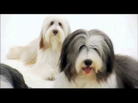 Dogs 101: Bearded Collie