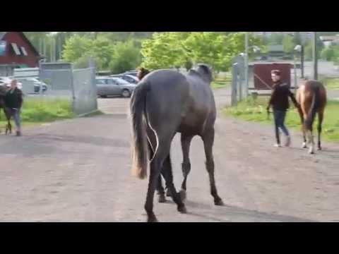 Hästarna anländer från Irland