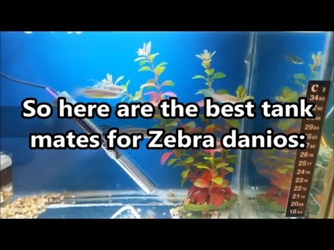 Zebra Danio Compatible Tank Mates - What Fish Can You Have With Zebra Danios.