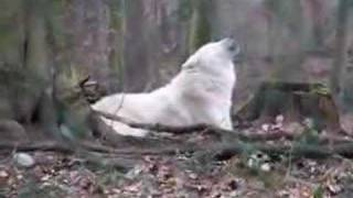 hurlements de loups arctiques