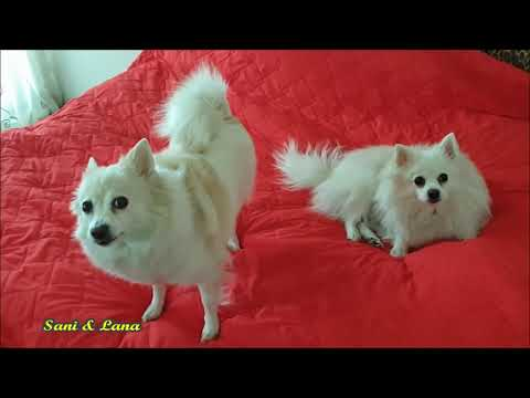 Sani & Lana - Rare Moments When They Are Not Active (Klein German Spitz)