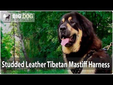 Giant Tibetan Mastiff in Stylish Studded Leather Dog Harness