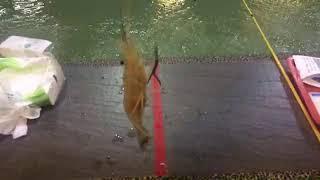 Shrimping in Taiwan 台灣釣蝦