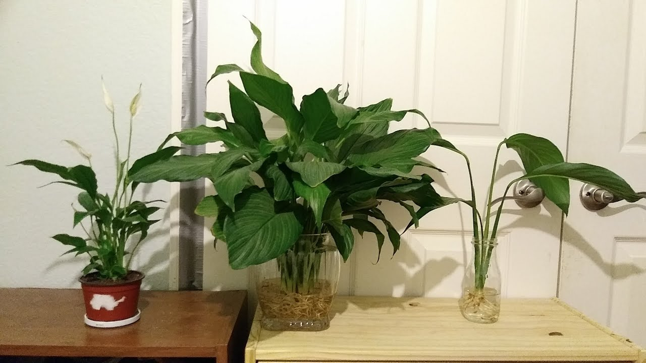 Different Types Of Peace Lily Varieties Spathiphyllum Youtube