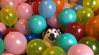 1000 Balloon Surprise for my Huskies!!... [500k SUB SPECIAL] [BEST REACTIONS EVER]