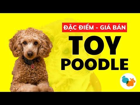 Toy Poodle Dogs | Thông tin chó Poodle Toy chi tiết - Tiki Pet Store