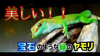 [爬虫類飼育]グランディスヒルヤモリという宝石のようなトカゲについて話そう