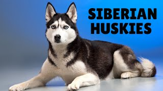 Top 25 Amazing Facts About Siberian Huskies