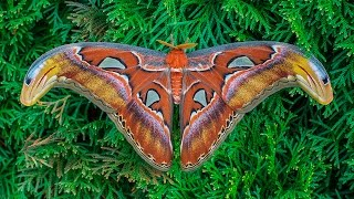 Attacus atlas moth development
