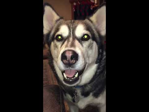 Mouthy little back talker - talking husky