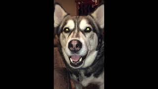 Mouthy little back talker - talking husky