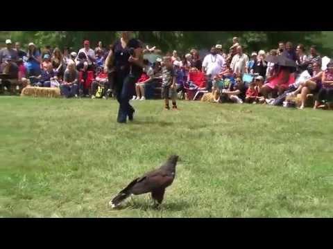 Harris Hawk Isabo Hunting - with Jennifer Pena - Bear Mountain PowWow