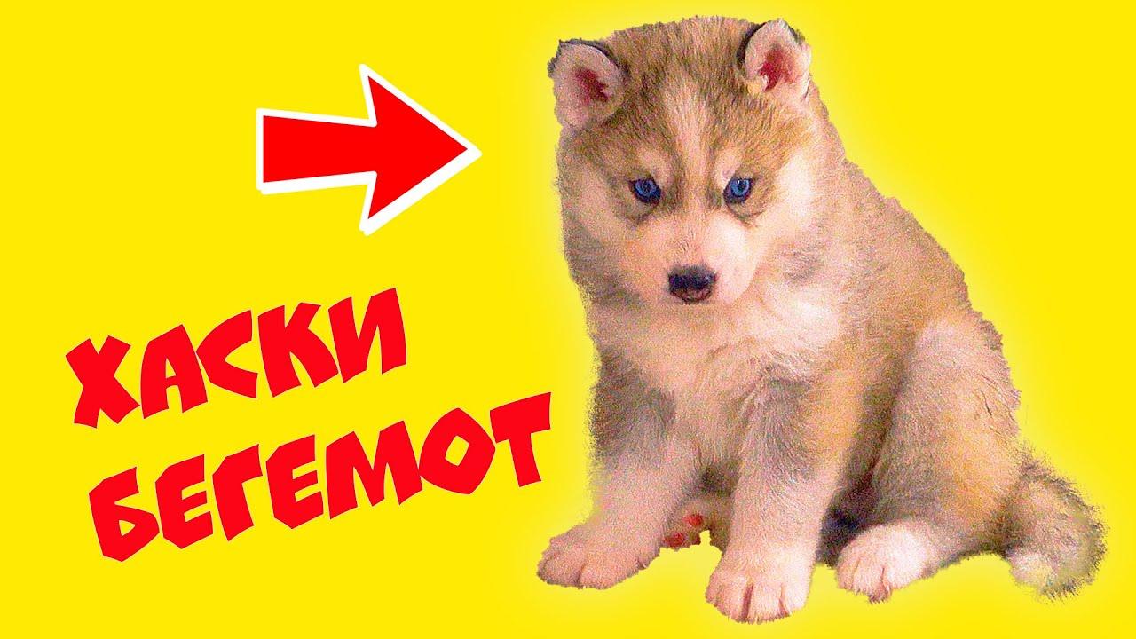 ЩЕНКИ БУБЛИКА БУДУТ ЖИТЬ С НАМИ!! (Хаски Бандит) Говорящая собака