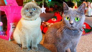 Сразу ДВЕ КОШКИ у нас дома! НОВЫЙ ДОМ для кошек, КОШКА в ШОКЕ! Шотландская вислоухая ВИДЕО про кошек
