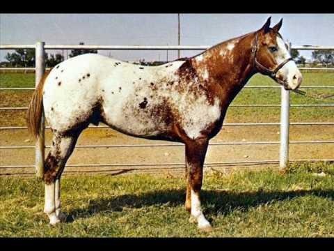 O Cavalo Appaloosa