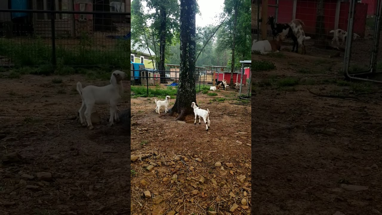 Ring around the tree played by Mini Nubian baby goats! This is a cute baby goat video.
